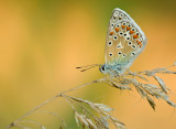 Common blue/ Icarus blauwtje 90