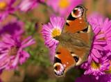 Peacock butterfly/Dagpauwoog  96
