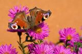 Peacock butterfly/Dagpauwoog 97