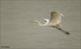 Great Egret - Grote Zilverreiger