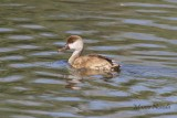 Red Crested Pochard (Fistione turco)