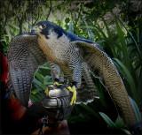 Pilgrim Falcon