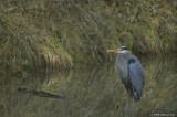 Heron in Alton Baker pond
