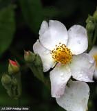 Raindrops on Wild Rose