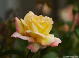 Masquerade Rose