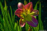 Sunlit Day Lily
