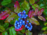 Oregon Grape - State Flower