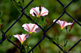Flowers in a Fence