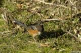female Spotted Towhee #2