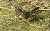 female Spotted Towhee #3