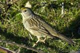 Golden-crowned Sparrow ?