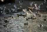 Seagulls at the pond #7