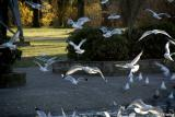 Seagulls at the pond #4