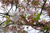 Cherry blossom delicacy
