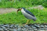 Black-crowned Night-Heron's hunting-2 Caught one!