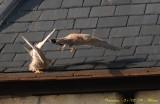 Le mâle part se dégourdir les ailes à la grande surprise de la femelle. La scène aura duré moins d'une minute.