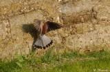 Le mâle descend dans la douve, je le perds de vue quelques temps et il réapparaît sur le mur, au ras du sol et repart en rase-mottes.