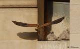 Il repart à la chasse et reviendra se poser sur le muret avec un lézard dans le bec, malheureusement je n'ai pas pu saisir l'instant :-(