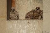 Il y a trois jours de différence entre le plus $agé et le plus jeune des fauconneaux mais il y a une grosse différence de plumage.