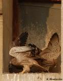 Parfois ils battaient fort des ailes faisant voler les plumes et la poussière dans le nid. Mais aucun décollage :-(