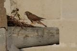 Celui-ci explore le nid des pigeons.
