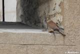 La mère dépose une proie, peut-être un rat, dans une lucarne du bâtiment voisin pour obliger les petits à voler pour manger.