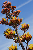 09-06 Flowering Agave 01.JPG