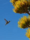 09-06 Flowering Agave 03.JPG