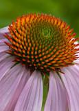 09-06 Echinacea purpurea.JPG