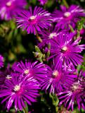 09-06 Ice plant Carpobrotus edulis 03.JPG