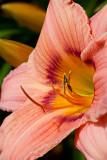 09-06 Lilies 02.JPG