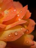 09-06 Roses 03.JPG