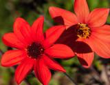 12-09 Dahlias-1.jpg