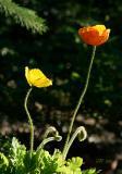 06-06 Poppies.JPG