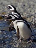 08-01 Penguins Tierra del Fuego 06.JPG