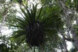 Asplenium Madagascar Est Andasibe Mantandia National Park 7.JPG