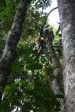 Diademed Sifaka Madagascar Est Andasibe Parc de Mantandi 1.JPG