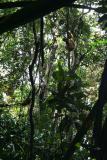 Diademed Sifaka Madagascar Est Andasibe Parc de Mantandi 2.JPG