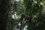 Diademed Sifaka Madagascar Est Andasibe Parc de Mantandia 7.JPG