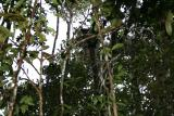Indri Madagascar est Andasibe Analamazaotra reserve 3.I.2006.JPG