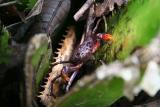 Madagascar Est Andasibe Vohimama forest 5.I.2006 4.JPG