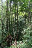 Madagascar Est Andasibe Vohimama forest 5.I.2006 5.JPG