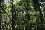 Montane Pandanus forest Madagascar Est Andasibe Vohimama 2.JPG