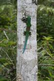 Phelsuma lineata Madagascar Est Andasibe Vohimama forest 5.I.JPG