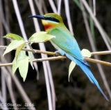 Blue-Tailed Bee-Eater - IMG_4244w.jpg