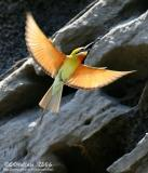 Blue-Tailed Bee-Eater - IMG_4277w.jpg