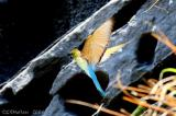 Blue-Tailed Bee-Eater - IMG_4228w.jpg
