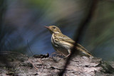 Olive Tree-Pipit