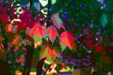 red-maple.jpg