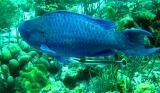 Blue Parrotfish and Ramora